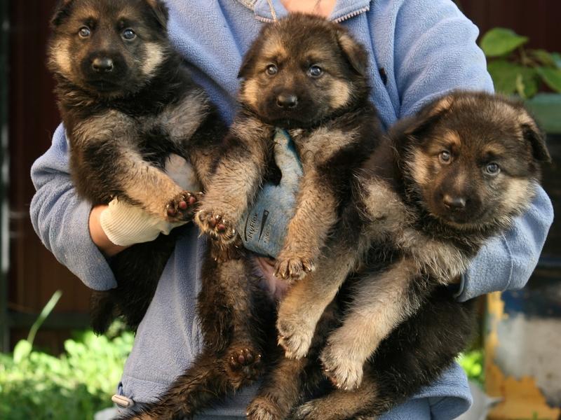 Купить собаку объявления о продаже щенков всех пород