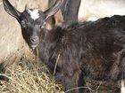 Увидеть изображение Другие животные Продаю козочку 3,5 мес, 32749601 в Саранске