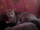 Просмотреть изображение  нужен кот шотландец вислоухий окрас свелый 53408965 в Саранске