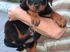 Фотография в Собаки и щенки Продажа собак, щенков Малыши ротвейлера/ на фото 61 день /. Отец в Кыштыме 20000