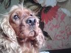 Фотография в Собаки и щенки Вязка собак английский коккер-спаниель-красавчик 2, 4 в Саратове 0