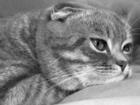 Фото в Кошки и котята Вязка Спокойный и уверенный, многократно проверенный, в Саратове 1000