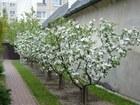 Фото в   Весенняя обрезка деревьев — работа для профессионалов. в Саратове 140