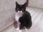 Новое фото  Ищем кота для вязки с кошечкой, 40741330 в Саратове