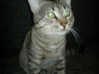 Скачать фото  Котик ищет кошечку для вязки 57500476 в Саратове