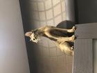 Уникальное изображение  Абиссинская кошка ищет пару 66522055 в Саратове