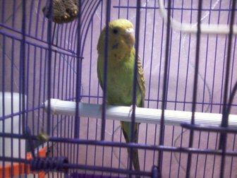 Смотреть фото Птички Отдам даром попугая, самка 8 мес, окрас желто-зеленый 34383772 в Саратове