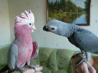 Скачать фото  Продам крупных и средних попугаев различных видов от птенца до взрослой птицы, 37157253 в Саратове
