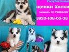 Фотография в Собаки и щенки Продажа собак, щенков Продам чистокровных щенков хаски! Черно-белые в Сергиев Посаде 0