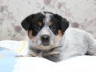 Фотки и картинки Австралийская пастушья собака смотреть в Новосибирске