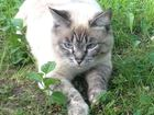 Увидеть фото Потерялись животные 9 апреля потерялась кошка-порода тайская в р-не новоткацкой,ул, нагорная 63039038 в Серпухове