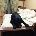 Вязка собаки лабрадор ретривер