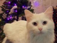 Пропала кошка Белая, бледно-голубые глаза