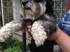Скачать фотографию Вязка собак Цвергшнауцер ищет подружку для вязки 39080156 в Севастополь