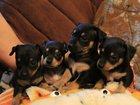 Изображение в Собаки и щенки Продажа собак, щенков Продаются щенки карликового пинчера , без в Северодвинске 0