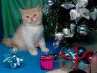 Изображение в   Чудесные кремовые британские котята-замечательный в Северодвинске 15000