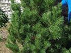 Свежее фотографию Растения Новогодние сосны Крым для елочных базаров 34025104 в Симферополь