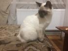 Просмотреть фото  Отдам бесплатно сиамского кота 52230677 в Симферополь