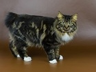 Смотреть фото Вязка кошек курильский бобтейл в поисках неввесты 56783100 в Симферополь