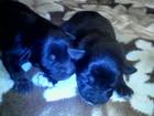 Изображение в Собаки и щенки Продажа собак, щенков отдам даром в хорошие заботливые руки щенков в Славянске-на-Кубани 0