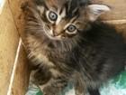 Изображение в Кошки и котята Продажа кошек и котят Отдадим котят, возраст 1 месяц, уже сами в Славянске-на-Кубани 0