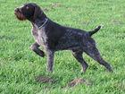 Изображение в Собаки и щенки Продажа собак, щенков Продам щенков Дратхаара. 3 суки 1 кобель, в Смоленске 20000