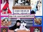 Фото в Собаки и щенки Продажа собак, щенков В продаже голубоглазые чёрно-белые щеночки в Смоленске 0