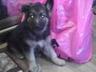 Фотография в Собаки и щенки Продажа собак, щенков Продается щенок немецкой овчарки, девочка, в Смоленске 7000