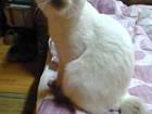 Foto в Кошки и котята Вязка Красавец кот, окраса блю-поинт, возраст 1 в Смоленске 0