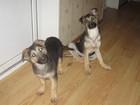 Изображение в Собаки и щенки Продажа собак, щенков щенки девочки восточноевропейской овчарки в Смоленске 10000