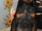 Фотография в   Продаются щенки доберман. Девочки и мальчики. в Смоленске 10000