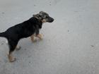 Свежее изображение Продажа собак, щенков Молодая и красивая овчарка ищет дом 34844117 в Сочи