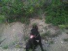 Фотография в Собаки и щенки Вязка собак Сучка порода КАНЕ-КОРСО 2 года ищет кобеля в Старый Крым 0