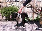 Изображение в Собаки и щенки Вязка собак Амстафф ищем девочку для вязки. Все подробности в Старом Осколе 0