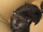 Изображение в Кошки и котята Продажа кошек и котят ШОТЛАНДСКИЕ КОТЯТА РОЖДЕННЫЕ 10 СЕНТЯБРЯ, в Старом Осколе 1000