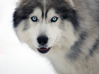 Фото в Собаки и щенки Вязка собак Молодой кобель приглашает дам. Документы в Старом Осколе 0