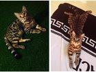 Уникальное фото Вязка Красавица ищет кота для вязки! 34611480 в Ставрополе