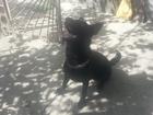 Скачать изображение Вязка собак немец черного цвета ищет подружку 38581315 в Ставрополе