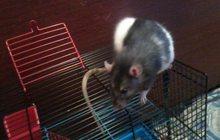 отдам крысу