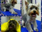 Скачать foto Стрижка собак Стрижка собак Ступино,Ступинский район и Кашира! 38810248 в Ступино