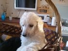 Изображение в Собаки и щенки Продажа собак, щенков Очаровательные щенки большого пуделя. С отличной в Сургуте 25000