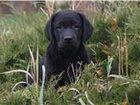 Фото в Собаки и щенки Продажа собак, щенков Предлагаем высокопородных щенков лабрадора в Сургуте 25000