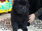 Изображение в Собаки и щенки Продажа собак, щенков Продается щенок чау-чау, рожденный 16. 11. в Сургуте 14000