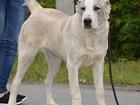 Изображение в Собаки и щенки Продажа собак, щенков Предлагаются к продаже подрощенные щенки в Сургуте 20000