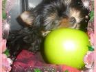 Изображение в Собаки и щенки Продажа собак, щенков Красивые высокопородные щенки йоркширского в Сургуте 25000