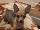 Увидеть фото Вязка собак Брутальный пацан ищет подружку для вязки 38863876 в Сургуте