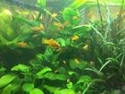 Фотография в Рыбки (Аквариумистика) Растения Аквариумные растения из своих аквариумов в Сургуте 0