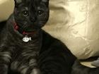 Смотреть фото Вязка кошек Шотландская вислоухая (1,5 года) ищет жениха 54175664 в Сургуте