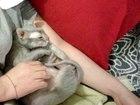 Свежее фотографию Вязка кошек Кошечка (сфинкс) ищет кота, 59957149 в Сургуте