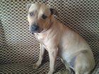 Фото в Собаки и щенки Продажа собак, щенков Амереканский ПитБуль, девочка 3 года, ищем в Сыктывкаре 0